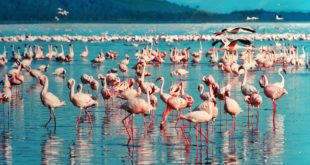 flament rose kenya